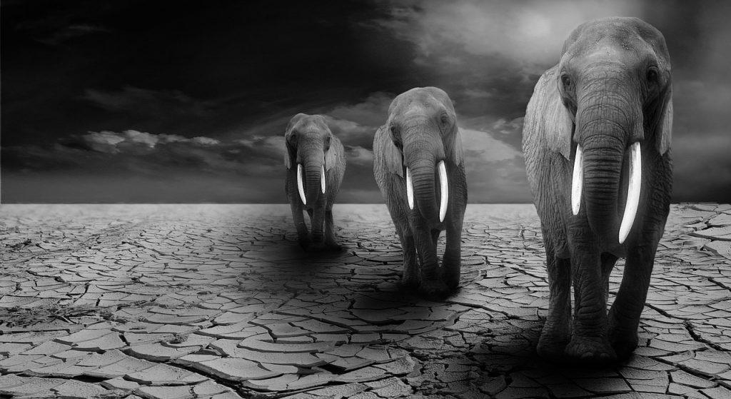 elephant resilience in dry desert